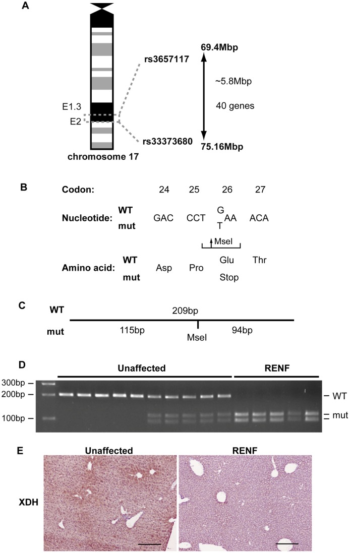 Mapping and identification of the gene mutation causing RENF. (A) The RENF locus was mapped to a 5.8Mbp interval flanked by the SNPs rs3657117 and rs33373680 on chromosome 17, which contained 40 genes. (B) DNA sequence analysis of the Xdh gene revealed a homozygous G > T transversion in exon 2, changing codon 26 from GAA to TAA, resulting in a nonsense mutation. (C) The Glu26Stop mutation also generated a MseI restriction endonuclease recognition site, thus cleavage of a 209 bp PCR product by MseI yielded 115bp and 94bp fragments in mutant alleles but did not cut wild-type alleles. (D) MseI digest was used to genotype unaffected and affected RENF mice. All affected RENF mice were homozygous for the Glu26Stop mutation. (E) Immunohistochemistry showed loss of hepatic XDH expression in RENF mice compared to unaffected littermates. Scale bars = 200 µm.