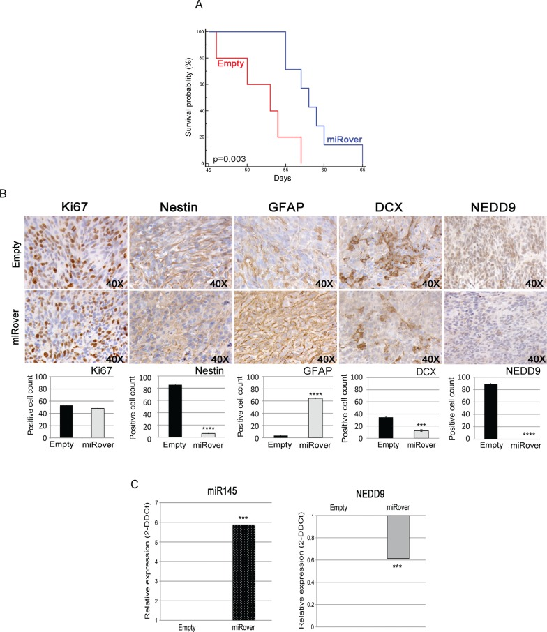 Effects of miR-145 overexpression in vivo (A) Kaplan-Meier survival analysis shows that mice injected with miRover-NS survive longer than mice injected with Empty-NS (P = 0.003). (B) Immunohistochemistry of miRover and Empty tumors (40X). <t>Ki67-,</t> <t>Nestin-,</t> GFAP, DCX- and NEDD9-positive cell were counted on three to five independent 40X fields per tumor in 2-3 animals per group. miRover tumors present a higher amount of GFAP-positive cells and a lower amount of cells positive for Ki67, Nestin, DCX and NEDD9 compared to Empty. Histograms represent the quantification of positive cells: Ki67 (48 ± 1.2% in miRover vs. 53.2 ± 0.6 in empty), Nestin (6.2 ± 0.7% in miRover vs. 85.7 ± 1.3 in empty), GFAP (64.4 ± 1.1% in miRover vs. 3.5 ± 0.5 in empty), DCX (12.5 ± 1.7% in miRover vs. 34.5 ± 1.9 in empty), and NEDD9 (0 ± 0% in miRover vs. 89.3 ± 1.2 in empty). A representative image for each tumor is displayed (* P