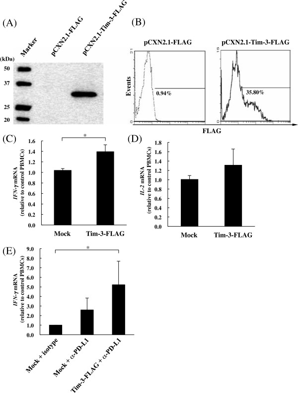 Inhibition of the Tim-3/Gal-9 pathway increases cytokine expression in PBMC from BLV-infected cattle. (A and B) The expression of bovine Tim-3 on Cos7 cells. The detections were performed by (A) Western blotting analysis and (B) Flowcytometric analysis with anti-FLAG antibody as described elsewhere. Empty plasmid-transfected cells were used as mock for each assay. (C, D and E) Real-time PCR quantification of mRNA expression levels for cytokines in the treated-PBMC from BLV-infected cattle ( n = 3). Up-regulations of IL-2 (C) and IFN-γ (D) expressions in PBMC by the inhibition of the Tim-3/Gal-9 pathway using Tim-3 expressing cells (Tim-3-FLAG). Up-regulations of IFN-γ (E) expressions by blockade of the PD-1/PD-L1 pathway using anti-PD-L1 antibody (α-PD-L1) and enhancement of the expression by combination PD-L1 blockade with Tim-3 expressing cells. Each cytokine mRNA level was normalized by the bovine β-actin mRNA as above, and the relative index was determined in comparison to the cytokine mRNA level in the PBMC without Tim-3 expressing cells and antibodies. The results are means of three independent experiments using cells from three individual cattle. Asterisks donate significant differences between the types of the cells (* p