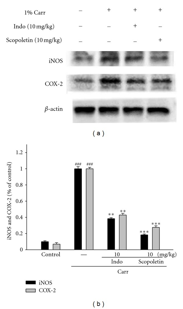 Inhibition of iNOS and COX-2 protein expression by scopoletin induced by Carr in mice paw edema for 5th hour. Normal control received 0.9% normal saline. Animals treated with scopoletin (1, 5, and 10 mg/kg) and Indo to injection of Carr right hind paws. The right hind paw tissues were taken at the 5 hour. Then the homogenate was centrifuged and tissue suspended were then prepared and subjected to western blotting using an antibody specific for iNOS and COX-2.  β -actin was used as an internal control. (a) Representative western blot from two separate experiments was shown. (b) Relative iNOS and COX-2 protein levels were calculated with reference to Carr-injected mouse. Each point represents the  average value  for three  individual animals .  ### compared with sample of control group. The data were presented as mean ± S.E.M. for three different experiments performed in triplicate. ** P