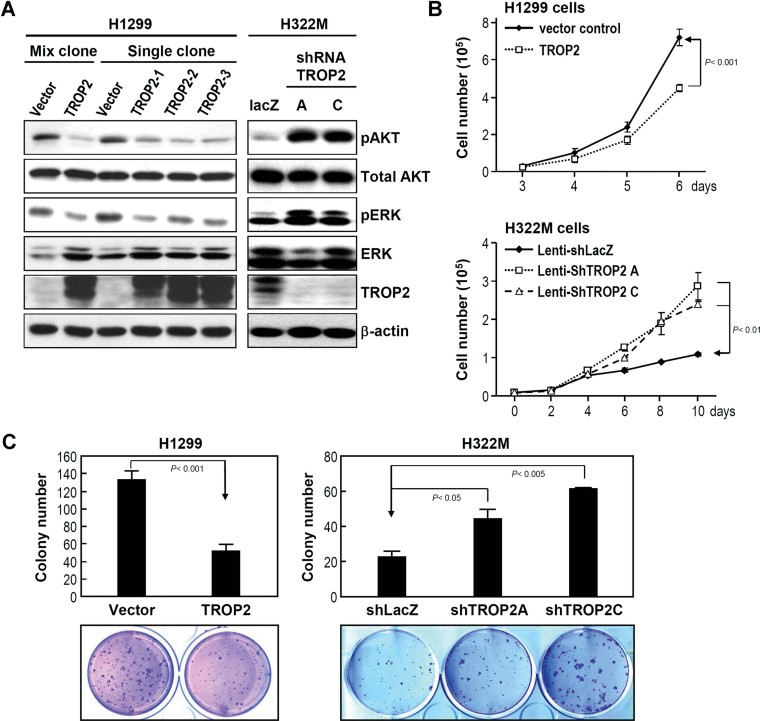 TROP2 expression modulates cell proliferation and colony formation Trop-2 was overexpressed in H1299 cells and knocked down in H322M cells, and the activities of AKT and ERK were determined by Western blotting with anti-pAKT and anti-p-ERK antibodies, respectively. Forced expression of Trop-2 in H1299 cells inhibited cell proliferation compared to the vector control, as determined by cell counting. Conversely, Trop-2 knockdown by either lenti-shTROP2A or lenti-shTROP2C enhanced cell proliferation. The tumour growth ability of lung CL was measured by the formation of colonies in soft agar. The results are presented as means ± SD, data were compared between groups using the t -test, and p