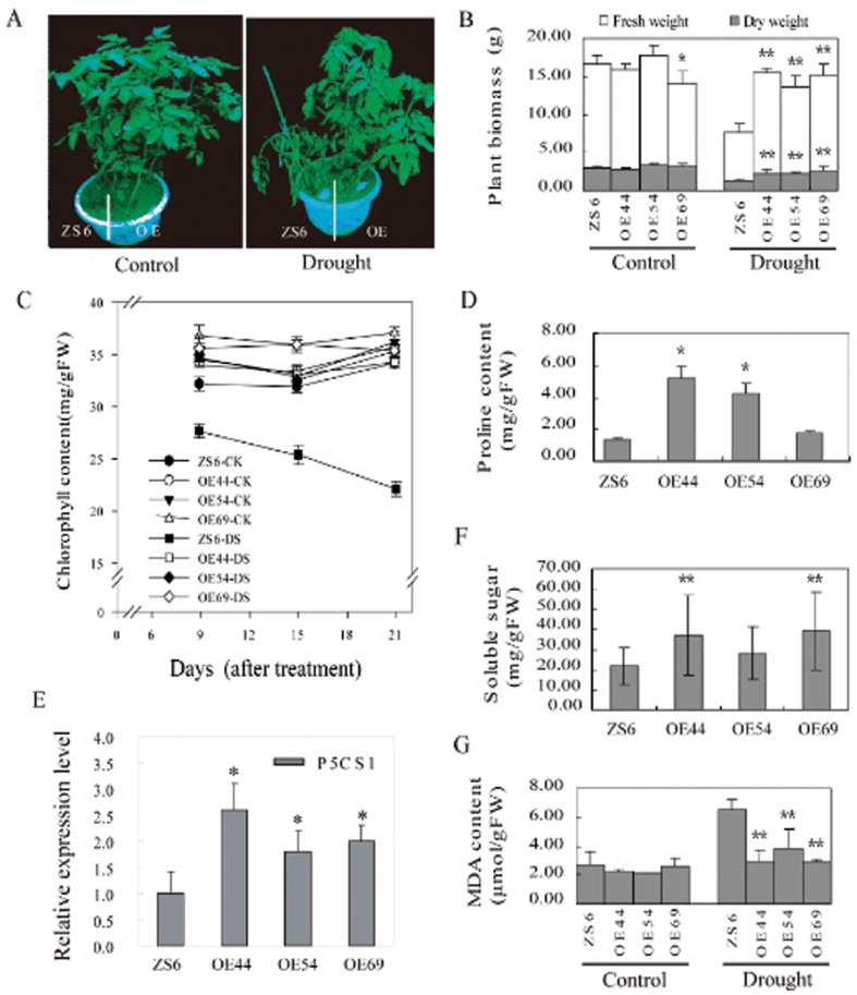 SpUSP overexpression enhances drought tolerance in tomato. (A) Drought tolerance tests for SpSUP -overexpressing (OE44, OE54, and OE69) and wild-type ZS6 plants grown in the same pot. The phenotypes under well-watered ('Control') and drought-stress conditions ('Drought') are shown.. (B) Effects of drought on the fresh and dry weights of the OE and wild-type lines. (C) Chlorophyll contents in plant leaves under drought stress ('DS') or normal condition ('CK'). (D) Proline accumulation in plant leaves under drought stress. (E) Relative expression levels of P5CS1 in the OE and wild-type lines under drought stress via qRT-PCR. (F) Soluble sugar content in plant leaves under drought stress. (G) MDA content in plant leaves under stress ('Drought') or normal condition ('Control'). The data shown are the mean ±SE ( n =3). Single (* P