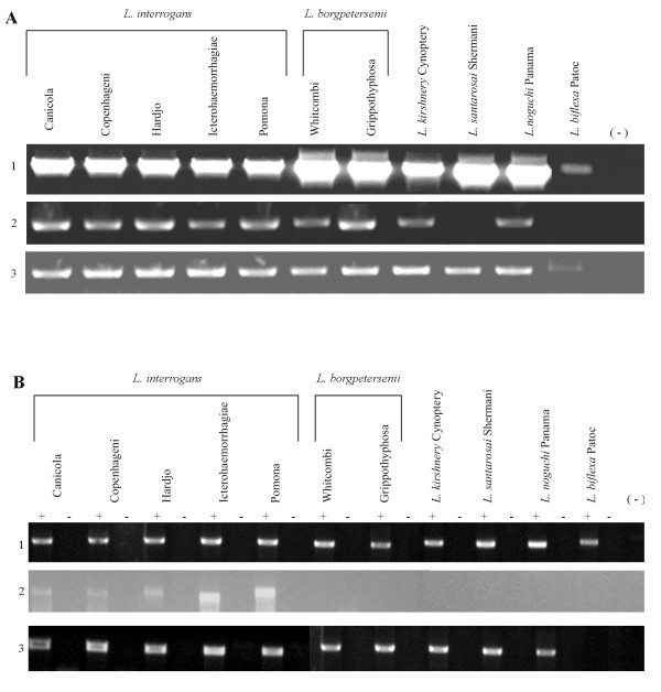 Analysis of the LIC11834 and LIC12253 genes and their transcripts among different leptospiral strains. (A) Analysis by PCR of the LIC11834 (2) and LIC12253 (3) genes in pathogenic serovars (L. interrogans , L.borgpetersenii, L. kirshnery, L. noguchi and L. santarosai ) and in the non - pathogenic L. biflexa strain. 16 S rRNA gene expression was used as an internal control (1). The negative control contained no DNA, indicated by (−). (B) Analysis of the LIC11834 (2) and LIC12253 (3) transcripts by RT - PCR using 2 μg total RNA extracted from different serovars belonging to the pathogenic species and the saprophytic L. biflexa serovar Patoc strain Patoc. 16 S rRNA gene expression was used as an internal control (1). Reverse transcriptase present, +; reverse transcriptase omitted, -. The negative control contained no cDNA, indicated by (−).