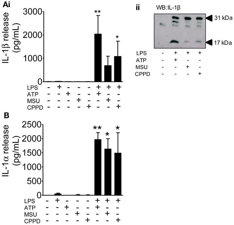 The effects of PAMPs and DAMPs on the release of IL-1 from cultured mixed glia . Cultured mixed glia were treated (1 h) with the NLRP3-activating DAMPs ATP (5 mM), MSU, and CPPD (both 250 μg/ml) plus and minus a 24 h priming stimulus with the PAMP LPS (1 μg/ml). Release of both IL-1β (A) and IL-1α (B) were quantified by ELISA (Ai) , and processing of pro- (31 kDa) to mature (17 kDa) IL-1β in PAMP and DAMP treated cells was analyzed by Western blot (Aii) . Data are pooled samples from at least five separate experiments. ** P