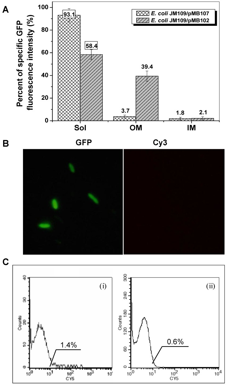 Expression profiles of E. coli JM109/pMB107 cells expressing InaQ-N′/GFP. (A) GFP fluorescence intensity measurements of subcellular fractions of JM109/pMB107 cells and the control strain JM109/pGFPuv expressing cellular GFP. Sol, soluble cytoplasmic fraction; OM, outer membrane fraction; IM, inner membrane fraction. Each value and error bar represents the mean of three independent experiments and its standard deviation, respectively. (B) Immunofluorescence micrographs of intact JM109/pMB107 cells. Prior to microscopic observation, the cells were treated with monoclonal anti-GFP antibodies, followed with Cy3-conjugated antibodies. (C) Flow cytometric assay of (i) JM109/pMB107 and (ii) JM109/pGFPuv (negative control). Cells were labeled with monoclonal anti-GFP primary antibodies followed with secondary Cy5-conjugated IgG. The value in each histogram indicates the percentage of total Cy5-labeled fluorescent cells.