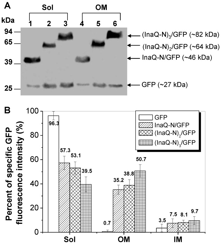 Expression profiles of E. coli JM109/pMB102, JM109/pMB109, and JM109/pMB110 cells expressing InaQ-N/GFP, (InaQ-N) 2 /GFP and (InaQ-N) 3 /GFP, respectively. (A) Western blot analysis of the cell fraction samples. Lanes 1 and 4, JM109/pMB102; lanes 2 and 5, JM109/pMB109; lanes 3 and 6, JM109/pMB110. (B) Percentage of specific GFP fluorescence intensities of subcellular fractions. E. coli JM109/pGFPuv expressing cellular GFP was used as the negative control of protein surface-immobilization. In (A) and (B), Sol, soluble cytoplasmic fraction; OM, outer membrane fraction; IM, inner membrane fraction.