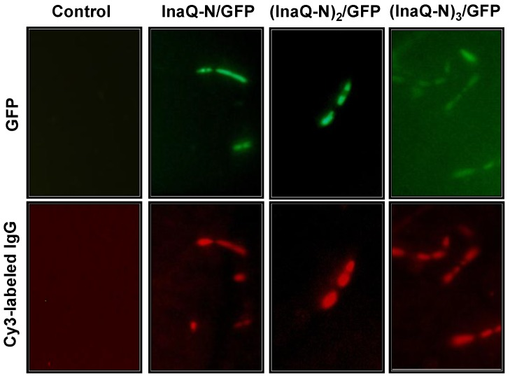 Micrographs of E. coli JM109/pMB102, JM109/pMB109, and JM109/pMB110 expressing InaQ-N/GFP, (InaQ-N) 2 /GFP and (InaQ-N) 3 /GFP, respectively. The panels show the phase-contrast microscopy and fluorescence microscopy images using green and red emission filters. For immunofluorescence microscopy, the cells were treated with anti-GFP monoclonal antibodies, followed with Cy3-conjugated secondary antibodies. E. coli JM109 cells were used as the negative control.