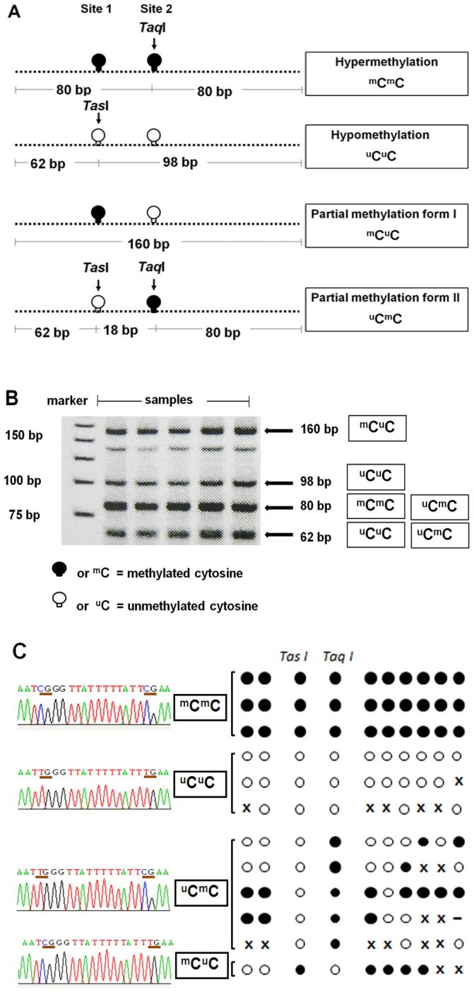 Methylation patterns of COBRALINE-1. (A) The LINE-1 amplicons were 160 bp and had 2 CpG dinucleotides. Four patterns of methylated CpGs were detected, including hypermethylation ( m C m C), hypomethylation ( u C u C), and two forms of partial methylation ( m C u C and u C m C). The Tas I enzyme targets unmethylated cytosine site 1, and Taq I targets methylated cytosine site 2. (B) After restriction digestion with Tas I and Taq I, four sizes of products (160, 98, 80, and 62 bp) were identified, depending on the methylation status of both CpG loci. (C) Examples of bisulfite sequencing. Left side represents sequences of the two CpG dinucleotides at Tas I and Taq I cut site whereas the right side represents the CpG dinucleotides in the amplified PCR products. Each circle exemplifies the methylation status of each selected clone. Black and white circles are methylated and unmethylated CpG dinucleotides, respectively. x is mutated sequence and – is deleted sequence.