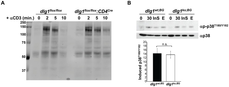T cells from dlg1 knockout mice show normal TCR-induced tyrosine- and alternative p38- phosphorylation. (A) Purified CD4 + T cells from dlg1 flox/flox or dlg1 flox/flox :CD4 cre mice were stimulated with anti-CD3 antibody for the indicated times. Whole cell lysates were immunoblotted with anti-phosphotyrosine antibody. (B) (Top panel) Expanded T cells from dlg1 wt;BG or dlg1 ko;BG mice were restimulated with anti-CD3 and anti-CD28 antibodies for 30 minutes in the absence or presence of an Insolution p38 (InS) or U0126 Erk (E) inhibitor. Whole cell lysates were then immunoblotted with anti-phospho-p38 (T180/Y182) followed by anti-p38 to assess loading. (Bottom panel) Levels of induced p38 phosphorylation relative to corresponding unstimulated samples were determined by densitometry and normalized according to loading controls (n = 3 each for dlg1 wt;BG and dlg1 ko;BG ). Data represent mean +/− StDev. n.s. = not significant, (p = 0.7236).