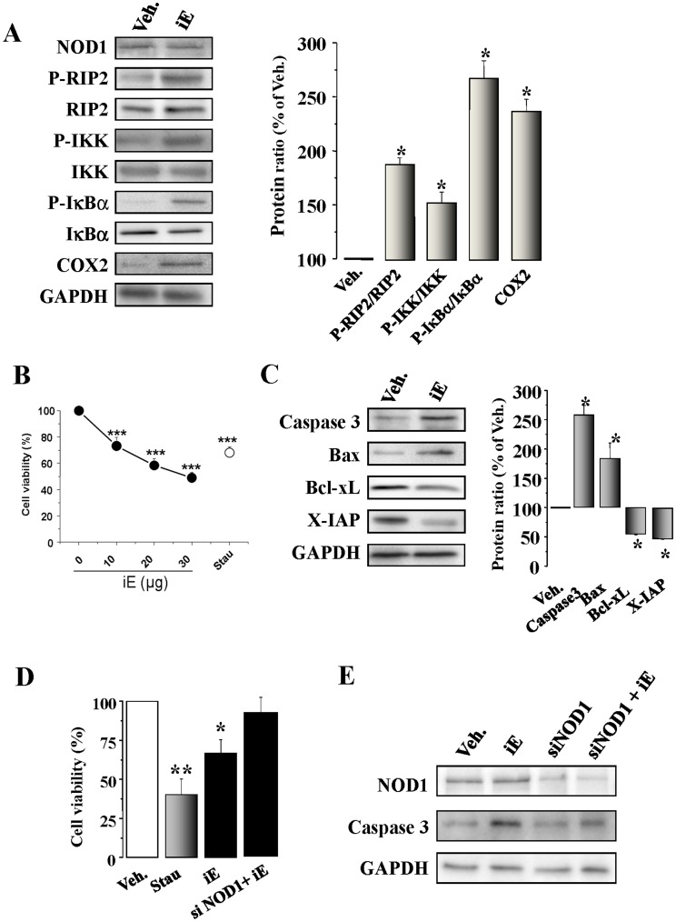 The NOD1 agonist iE induces NF-κB activation and apoptosis in cardiomyocytes and H9c2 cells. Effect of NOD1 ablation with siRNAs. (A) Native murine cardiomyocytes were incubated for 15 to 60 min, or 48 h with 20 µg/ml of iE. iE treatment induces an up-regulation of P-RIP2/RIP2, P-IKK/IKK, P-IκBα/IκBα (15–60 min) and COX2 (48 h) protein levels. (B) iE induces a decrease in cardiomyocyte viability in a dose-response form. Cardiomyocytes incubated for 2 h with 10–30 µg/ml of iE; staurosporine (Stau, 100 ng/ml) were used as a positive control to induce apoptosis. (C). iE treatment induces an up-regulation of caspase 3 and Bax protein levels and down-regulates the BcL-xL and X-IAP protein levels. (D) iE or Stau administration for 24 h in H9c2 promoted a decrease in viability as determined by MTT activity. NOD1 suppression by siRNA prevented the effect of iE on cell viability. (E) Representative blot of NOD1, caspase 3 and GAPDH obtained in vehicle and iE treated cells, NOD1 siRNAs (siNOD1) and NOD1 siRNA+iE in H9c2 cells. All targets protein levels were normalized by GAPDH. Data are expressed in histograms representing the mean±SEM vs . vehicle (100%); n = 3–5 samples per condition.*p