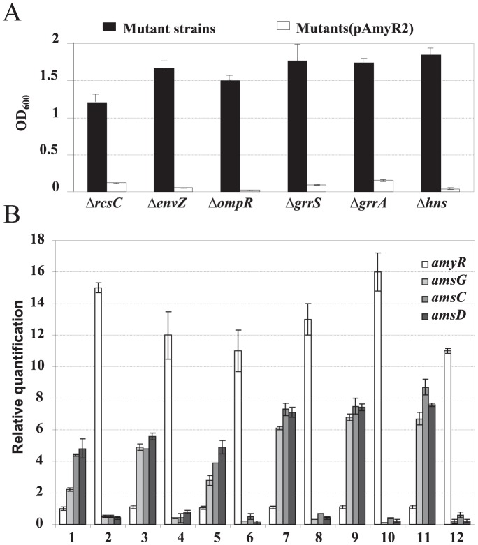 Over-expression of the amyR gene suppresses amylovoran production in various amylovoran over-producing mutants. A . Amylovoran production of various mutant strains with or without pAmyR2 plasmid. Bacterial strains were grown in MBMA media with 1% sorbitol for 24 hours at 28°C with shaking. The amount of amylovoran was measured with the CPC assay and normalized to a cell density of 1. B . Relative quantification of amyR and amylovoran biosynthetic genes in various mutant strains with or without pAmyR2 plasmid by qRT-PCR. Bacterial strains were grown in MBMA media with 1% sorbitol for 18 hours at 28°C with shaking. 1: Δ rcsC , 2: Δ rcsC (pAmyR2), 3: Δ envZ , 4: Δ envZ (pAmyR2), 5: Δ ompR , 6: Δ ompR (pAmyR2), 7: Δ grrS , 8: Δ grrS (pAmyR2), 9: Δ grrA , 10: Δ grrA (pAmyR2), 11: Δ hns , 12: Δ hns (pAmyR2).