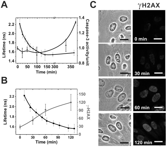 Doxorubicin induces caspase-3 activation and H2AX phosphorylation. HeLa cells were exposed to 5 µg/ml doxorubicin for different periods, after which cell lysates of each time point were extracted for either measurement of caspase-3 activity or fixed for the γH2AX staining. Doxorubicin fluorescence lifetimes following treatment (black) vs. (A) caspase-3 activity (blue); and (B) γH2AX activation (red). γH2AX activation was quantified from confocal microscopic images, as shown in (C), using MetaMorph imaging processing software. As illustrated, caspase-3 activation is preceded by the H2AX phosphorylation. (Scale bars in C: 20 µm).