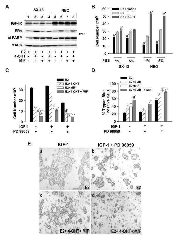 SX13 cells expressing low-levels of IGF-1R are sensitive to the death-inducing effects of PD 98059 . (a) Western blot showing low levels of IGF-1R, but comparable levels of ERα and cleaved PARP in SX13 and NEO cells undergoing the indicated hormonal treatments for 120 hours. (b, c) Cell counts showing that IGF-1 does not enhance E2-stimulated SX13 cell proliferation, but that PD 98059 can restore the growth-inhibitory effects of 4-OHT treatment. Cells (2 × 10 5 ) were seeded and, after 24 hours, treated with either 1% or 5% FBS-DCC serum in the absence (E2 ablation) or presence of E2 and/or IGF-1 for 168 hours (b) or 144 hours (c) . Cell counts were performed with a Coulter counter (c) . (d) Trypan blue exclusion assay shows that IGF-1 attenuates the death-inducing effects of 4-OHT and/or MIF treatments in an MEK1-dependent manner. At 144 hours after treatments, adherent and detached cells were collected and counted by using a hemacytometer. (e) Representative images show that PD 98059 effectively reduces cell number in the E2-treated cell population (compare a with b ), and induces cell shrinkage and detachment, indicative of apoptosis, in the 4-OHT plus MIF-treated cell population (compare c with d ). Data in ( b through d ) are expressed as mean ± SD ( n = 3). The following show significant differences in the induction of apoptosis (number of detached cells) and cell proliferation for the hormonal therapies compared with: (a) E2; (b) 4-OHT + MIF; (c) E2+IGF-1; (d) E2+IGF-1+PD 98059. * P