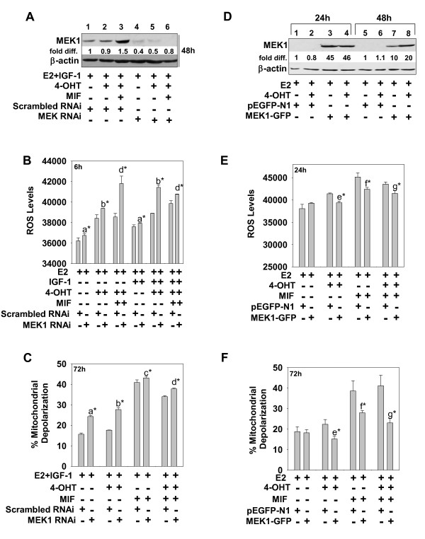 MEK1 regulates oxidative stress and mitochondrial membrane function in ER + breast cancer cells . (a through c) MEK1 downregulation blocked the prosurvival effects of IGF-1 and enhanced ROS and mitochondrial membrane depolarization in hormonally treated breast cancer cells. (a) Western blot shows effective RNAi targeting of MEK1, which was carried out for 48 hours before cells were treated with E2, E2 + 4-OHT, or E2 + 4-OHT + MIF for 24 hours. Protein was isolated from cells and analyzed for MEK1 expression with immunoblot analysis. (b, c) Cell populations with reduced MEK1 expression were analyzed at 6 and 72 hours for ROS and mitochondrial membrane depolarization, respectively. (d through f) MEK1 overexpression reduced ROS and mitochondrial membrane depolarization in hormonally treated breast cancer cells. Transient transfection of MEK1 cDNA (MEK1-GFP vector) increased MEK1 expression above levels seen in vector-only (pEGFP-1)-transfected control cells at 24 and 48 hours, as determined by immunoblot analysis (d) , and reduced ROS levels and mitochondrial membrane depolarization at 24 and 72 hours, respectively (e, f) . Values are expressed as mean ± SD ( n = 3). Significant differences are designated as follows: (a) Scrambled versus SiMEK, E2 (± IGF-1); (b) Scrambled versus SiMEK, E2 + 4-OHT (± IGF-1); (c) Scrambled versus SiMEK, E2 + MIF (± IGF-1); (d) Scrambled versus SiMEK, E2 + 4-OHT + MIF; (e) pEGFP-N1 versus MEK1-GFP, E2 + 4-OHT; (f) pEGFP-N1 versus MEK1-GFP, E2 + MIF; (g) pEGFP-N1, E2 + 4-OHT + MIF versus MEK1-GFP, E2 + 4-OHT + MIF. * P