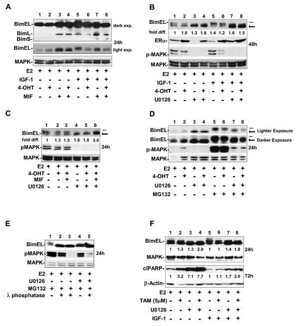 Blockade of MEK1 increases the levels of dephosphorylated BimEL in MCF-7 . (a through c) Western blot shows the expression level of the Bim isoforms (EL, extra long; L, long, and/or S, short) in cells treated with hormones plus and minus IGF-1 (a) , with two apparent size variants of BimEL, a high-molecular-weight BimEL (top band, denoted by the dash) and a low-molecular-weight BimEL (bottom band, denoted by the arrow) (b, c) . fold diff ., fold difference in signal intensity of the lower-molecular-weight BimEL band divided by the signal intensity of the high-molecular-weight BimEL band by using the total MAPK signal intensity per lane as the loading control. (d, e) Western blot shows the accumulation of the upper Bim EL band when cells with active MEK1 are treated with the proteasome inhibitor MG132, and preferential loss of the upper BimEL band, concomitant with accumulation of the lower-molecular-weight Bim EL form after λ protein phosphatase treatment of the protein lysates. The λ protein phosphatase digestion (described in Materials and Methods) was carried out for 20 minutes (lanes 2 and 5) or 1 hour (lane 3) on protein lysates isolated from breast cancer cells undergoing E2 treatment for 24 hours. Immunoblotting determined the levels of BimEL and pMAPK1/2; total MAPK served as loading control. (f) Western blot shows that TAM- and/or U0126- treated cells show significantly higher levels of BimEL protein than do E2-treated cells, with the highest levels of dephosphorylated Bim EL, correlating directly to the cleavage of PARP detectable by 72 hours.