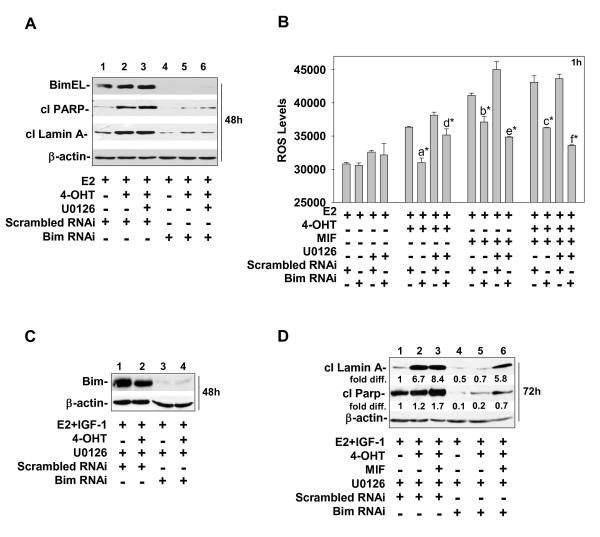 RNAi targeting of BIM expression protects MCF-7 cells from apoptotic cell death induced by 4-OHT, MIF, and/or U0126 treatments . (a, c) BIM expression was reduced in all treatment groups by RNAi targeting. MCF-7 cells were seeded in DMEM/F12 medium containing 5% DCC FBS and, after 24 hours, transfected with scrambled or BIM-targeting RNAi. Forty-eight hours after transfection, the cells were treated with E2, E2 + 4-OHT, or E2 + 4-OHT + MIF in the absence (a) or presence of IGF-1 (20 ng/ml) (c, d) and/or U0126 (5 m M ). Cells were harvested for protein at 48 hours (a, c ) or 72 hours (d) after treatment and subjected to immunoblot analysis to determine levels of Bim, cleaved PARP, and cleaved lamin (a) β-actin levels served as a loading control. (b) BIM knockdown via siRNA targeting reduces the levels of ROS generated by 1 hour of treatment with 4-OHT and/or MIF. Values are expressed as mean ± SD. Statistical significance was identified between the following treatment groups: (a) scrambled E2 + 4-OHT versus siBimE2 +4-OHT; (b) scrambled E2 + MIF versus siBim E2 + MIF; (c) scrambled E2 + 4-OHT + MIF versus siBim E2 + 4-OHT + MIF; (d) scrambled E2 + 4-OHT + U0126 versus siBim E2 + 4-OHT + U0126; (e) scrambled E2 + MIF + U0126 versus siBim E2 + MIF + U0126; and (f) scrambled E2 + 4-OHT + MIF + U0126 versus siBim E2 + 4-OHT + MIF + U0126. * P