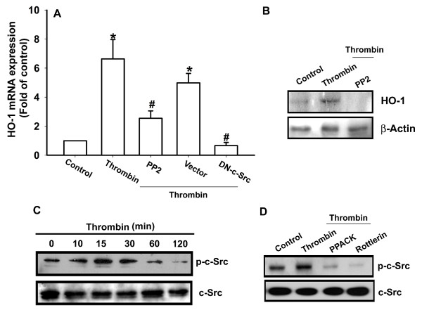 c-Src is involved in thrombin-induced HO-1 expression in synovial fibroblasts . (A, B) Osteoarthritis synovial fibroblasts (OASFs) (six OA lines) were pretreated for 30 minutes with PP2 (3 μ M ) or transfected with c-Src mutant for 24 hours followed by stimulation with thrombin for 24 hours, and the HO-1 expression was examined with qPCR and Western blotting. (C) OASFs (five OA lines) were incubated with thrombin for indicated time intervals, and c-Src phosphorylation was examined with Western blotting. (D) Cells (six OA lines) were pretreated 30 minutes with PPACK or rottlerin, followed by stimulation with thrombin for 30 minutes, and c-Src phosphorylation was examined with Western blotting. Results are expressed as the mean ± SEM. * P