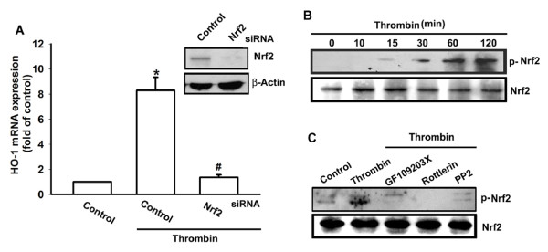 Thrombin induced Nrf2 activation in synovial fibroblasts . (A) Osteoarthritis synovial fibroblasts (OASFs; six OA lines) were transfected with Nrf2 siRNA for 24 hours, and HO-1 expression was examined with qPCR. (B) OASFs (six OA lines) were incubated with thrombin for indicated time intervals, and Nrf2 phosphorylation was examined with Western blotting. (C) Cells (five OA lines) were pretreated 30 minutes with PPACK, rottlerin, or PP2 followed by stimulation with thrombin for 30 minutes, and Nrf2 phosphorylation was examined with Western blotting. Results are expressed as the mean ± SEM. * P