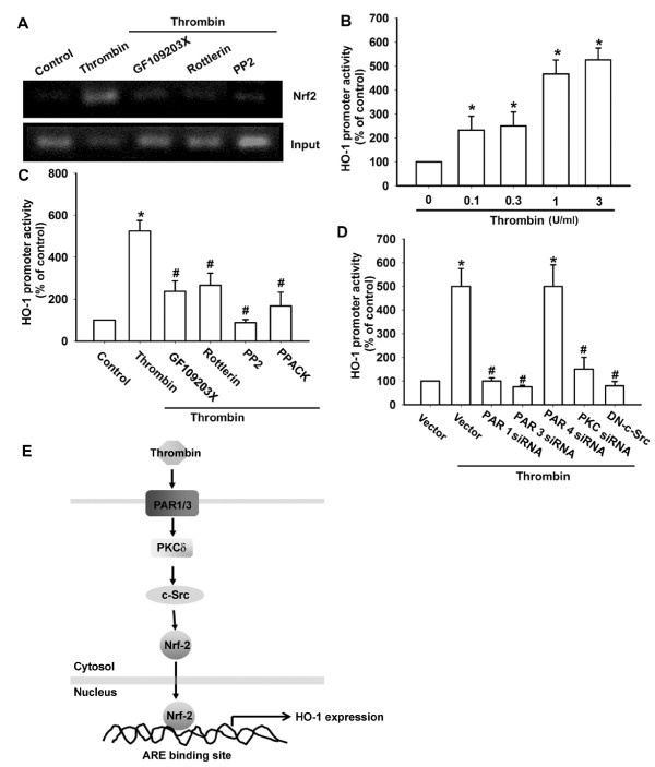 PAR, PKCδ, and c-Src are involved in thrombin-induced Nrf2 activation . (A) Osteoarthritis synovial fibroblast (OASFs; seven OA lines) were pretreated with GF109203X, rottlerin, and PP2 for 30 minutes followed by stimulation with thrombin for 120 minutes, and ChIP assay was then performed. Chromatin was immunoprecipitated with anti-Nrf2 antibody. One percent of the precipitated chromatin was assayed to verify equal loading (Input). OASFs (eight OA lines) were incubated with thrombin for 24 hours (B) or pretreated with PPACK, GF109203X, rottlerin, and PP2 for 30 minutes (C) or co-transfected with PAR1 siRNA, PAR3 siRNA, PAR4 siRNA, PKCδ siRNA, and c-Src mutant for 24 hours (D) before incubation with thrombin for 24 hours. HO-1 luciferase activity was then assayed. Results are expressed as the mean ± SEM. * P