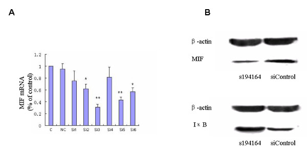 Cytosolic macrophage migration inhibitory factor and IκB expression after siRNA-mediated gene silencing in steroid-resistant patients . (A) Real-time PCR analysis of macrophage migration inhibitory factor (MIF) mRNA expression in peripheral blood mononuclear cells (PBMCs) from the steroid-resistant (SR) systemic lupus erythematosus group transfected with three siRNAs at different concentrations. C, control; NC, negative control; Si1, 100 nmol/l s8780; Si2, 100 nmol/l s194615; Si3, 100 nmol/l s194614; Si4, 200 nmol/l s8780; Si5, 200 nmol/l s194615; Si6, 200 nmol/l s194614. * P