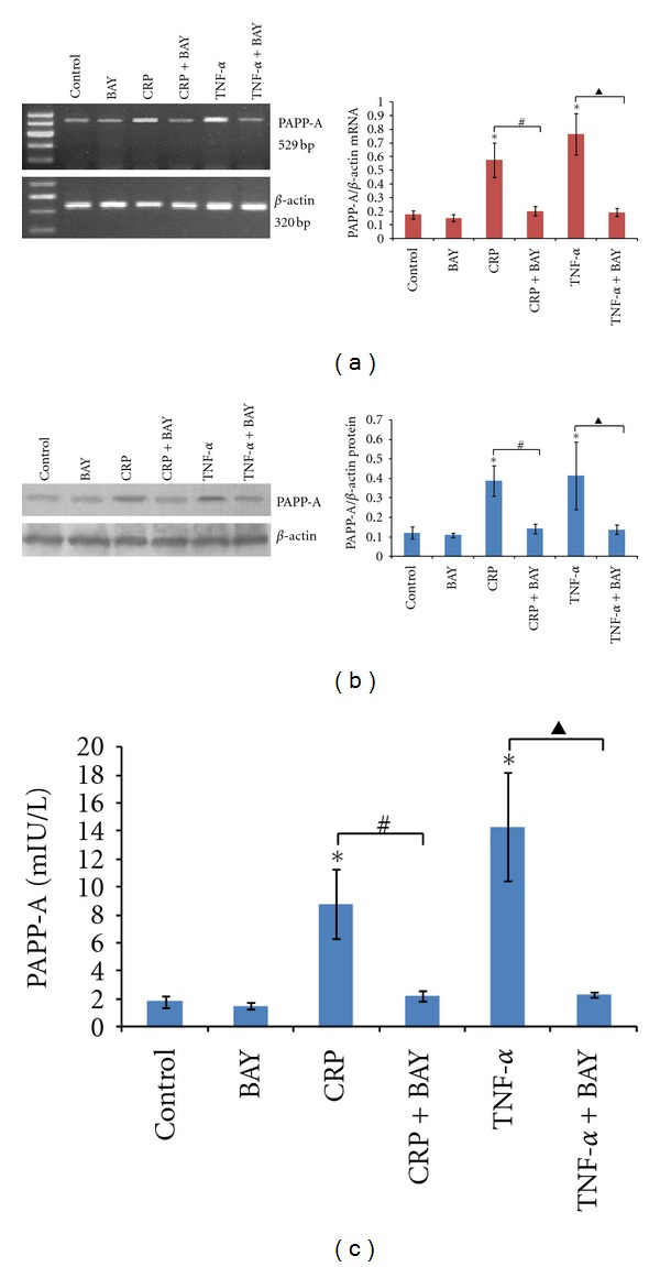 Effect of BAY11-7082 on cytokine-induced PAPP-A expression. PBMCs were pretreated with BAY11-7082 (20 μ M) for 60 min and then treated with CRP (20 mg/L) or TNF- α (100 ng/mL) for 24 hours. (a) Detection of PAPP-A mRNA expression was conducted by RT-PCR. (b) PAPP-A protein expression were determined by Western blotting. (c) PAPP-A concentrations were performed by an ultra-sensitive ELISA. The results are expressed as the means ± SD of six donors. ∗: P