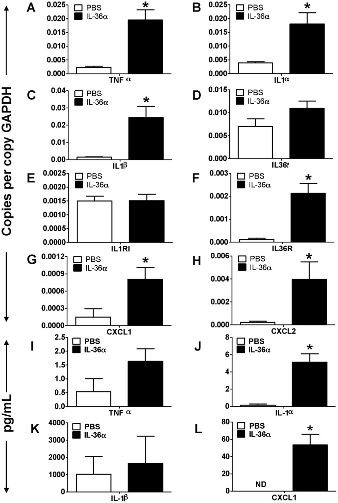 Intratracheal instillation of IL-36α increased the mRNA expression of proinflammatory mediators in the lungs of wild-type C57BL/6 mice. A–H) Transcript expression of early response cytokines (TNFα, IL-1α, IL-1β, IL-36γ), the classical IL-1 receptor IL-1R1, the novel IL-1 cytokine cluster receptor IL-36R and the neutrophil specific chemokines CXCL1 and CXCL2 in the lungs of mice 24 h following a single i.t instillation of PBS or 10 µg IL-36α. Transcript expression was evaluated by SYBR-Green based quantitative real-time PCR. I–K) Protein expression of TNFα, IL-1α, IL-1β and CXCL1 in the BAL fluid recovered from mice 24 h following a single i.t instillation of PBS or 10 µg IL-36α. Protein expression was quantified by multiplexed cytometric bead arrays. *Indicates significant differences ( P