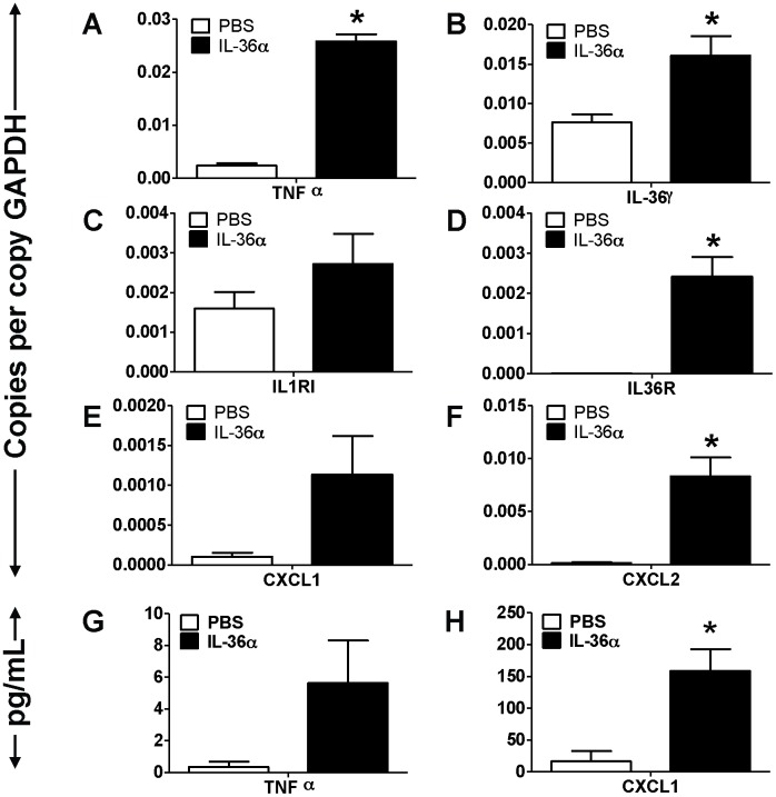 Intratracheal instillation of IL-36α increased the mRNA expression of proinflammatory mediators in the lungs of IL-1αβ −/− mice. A–F) Transcript expression of early response cytokines (TNFα and IL-36γ), the classical IL-1 receptor IL-1R1, the novel IL-1 cytokine cluster receptor IL-36R and the neutrophil specific chemokines CXCL1 and CXCL2 in the lungs of IL-1αβ −/− mice 24 h following a single i.t instillation of PBS or 10 µg IL-36α. Transcript expression was evaluated by <t>SYBR-Green</t> based quantitative real-time <t>PCR.</t> G–H) Protein expression of TNFα and CXCL1 in the BAL fluid recovered from IL-1αβ −/− mice 24 h following a single i.t instillation of PBS or 10 µg IL-36α. Protein expression was quantified by multiplexed cytometric bead arrays. *Indicates significant differences ( P