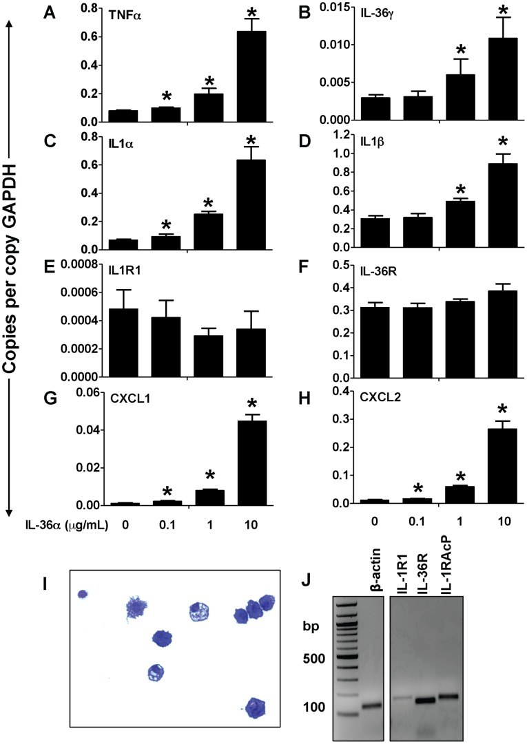 IL-36α induced the expression of proinflammatory cytokines and chemokines in splenic CD11c + cells. A–H) Transcript expression of early response cytokines (TNFα, IL-1α, IL-1β, IL-36γ), the classical IL-1 receptor IL-1R1, the novel IL-1 cytokine cluster receptor IL-36R as well as the neutrophil specific chemokines CXCL1 and CXCL2 in splenic CD11c + cells 2 h following incubation with increasing concentrations of IL-36α. Transcript expression was evaluated by SYBR-Green based quantitative real-time PCR. *Indicates significant differences ( P
