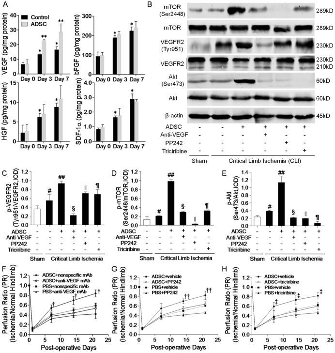 Transplanted mADSCs activated VEGF/mTOR/Akt pathway in vivo . Levels of vascular endothelial growth factor (VEGF), basic fibroblast growth factor (bFGF), hepatocyte growth factor (HGF) and stromal cell derived factor-1α (SDF-1α) in PBS or ADSC-treated ischemic hindlimbs on day 0 (baseline), 3 and 7 using ELISA ( a ). Western blot analysis ( b ) of VEGFR2(Tyr951)/VEGFR2 ( c ), mTOR(Ser2448)/mTOR ( d ), Akt(Ser473)/Akt ( e ) and β-actin expression within ischemic hindlimbs on day 7. Protein expression was quantified by the integrated optical density (IOD) ratio of each pair. n = 20 for each. LDPI follow-up showed that combined treatment of anti-VEGF monoclonal antibody (mAb) ( f ), PP242 ( g ) or triciribine ( h ) with mADSCs attenuated mADSC-induced blood perfusion restoration, compared with combined treatment of nonspecific IgG or vehicle controls. Error bars: mean±SD. * P