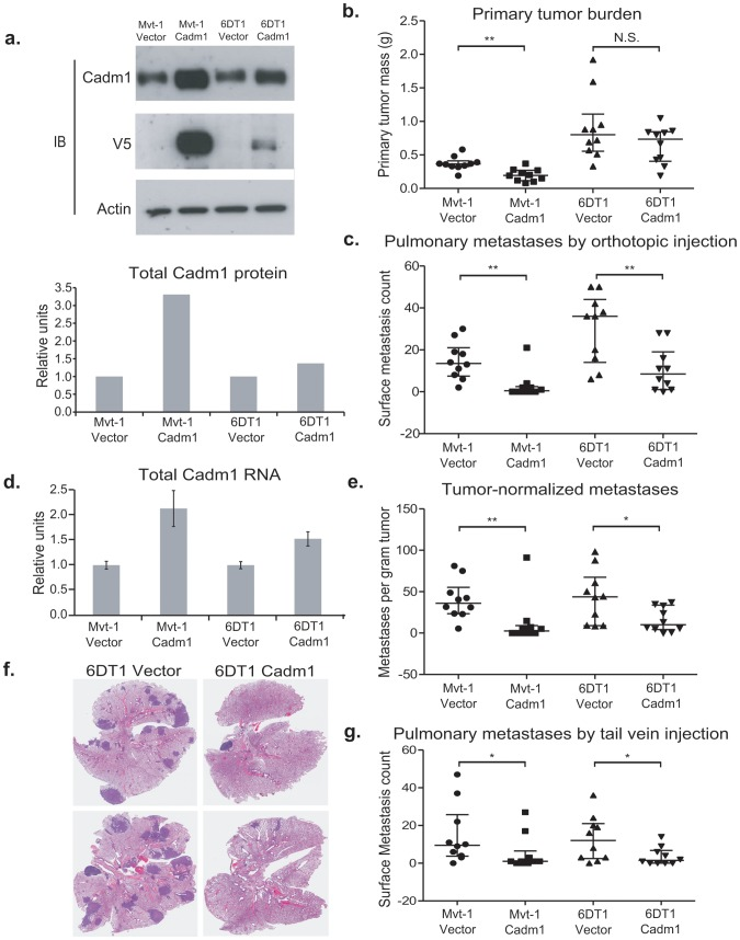 The effect of Cadm1 over-expression on tumor growth and metastasis in vivo . (a) Expression of endogenous and exogenous V5-epitope tagged Cadm1 protein (IB, immunoblot) and total protein by ECL densitometry on immunoblot. (d) Total RNA levels of Cadm1 measured by qRT-PCR (mean +/− standard error of the mean [SEM]). Mvt-1 and 6DT1 mouse mammary tumor cells stably expressing Cadm1 were implanted into mammary fat pads of syngeneic FVB mice. Data on primary tumor burden (Mvt-1: p = 0.0031; 6DT1: p = 0.2261) (b), pulmonary surface metastases (c) was collected on day 30 (Mvt-1: p = 0.0026; 6DT1: p = 0.0089; median +/− interquartile range; n = 10 mice per group). (e) Pulmonary surface metastases were normalized by primary tumor mass to determine if Cadm1 overexpression showed an effect on metastasis independent of its potential tumor suppressive activity (Mvt-1: p = 0.0048; 6DT1: p = 0.0185; median +/− interquartile range; n = 10 mice per group). Arrows indicate several but not all visible metastatic nodules present on lung surfaces. (f) Images of whole lungs of two mice implanted with 6DT1 control cells and two mice implanted with 6DT1 cells expressing Cadm1 . (g) Results of tail vein injection study (Mvt-1: p = 0.0361; 6DT1: p = 0.0475; median +/− interquartile range; n = 10 mice per group). (N.S., not significant; * defined as p
