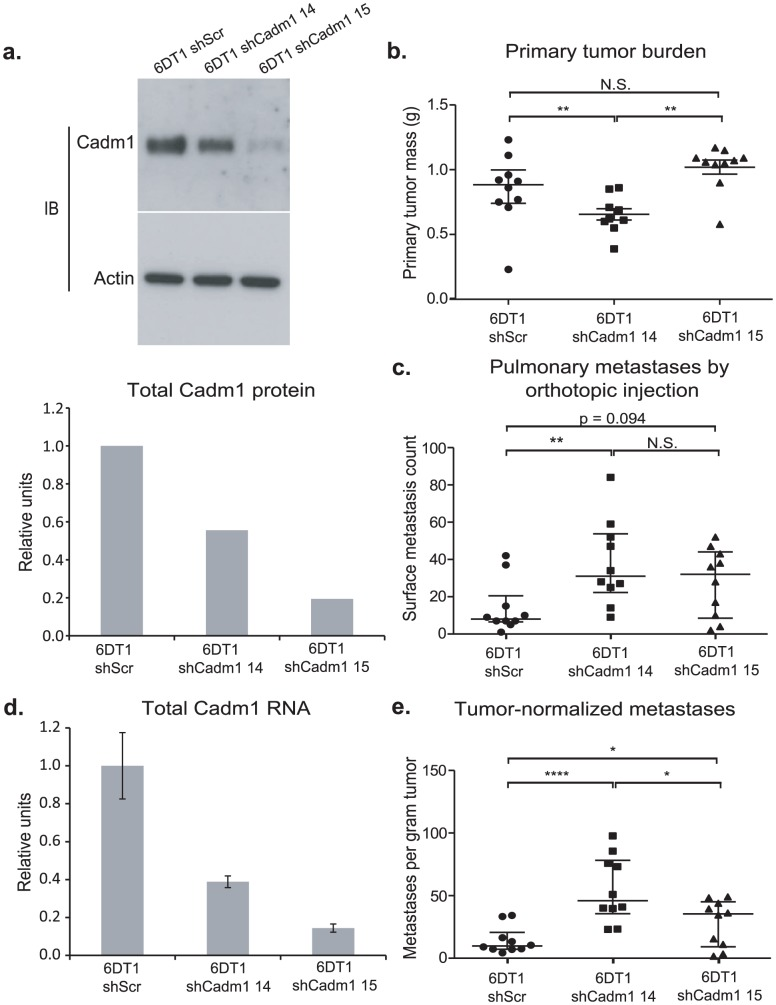 The effect of Cadm1 knockdown on tumor growth and metastasis in vivo . 6DT1 cells expressing shRNA constructs targeting Cadm1 showed (a) protein level knockdown of Cadm1 by immunoblot and ECL densitometry quantification and (d) total RNA level knockdown (mean +/− SEM). Orthotopic implant data showing the effects of Cadm1 knockdown on primary tumor burden (shScr vs. sh14: p = 0.0090; shScr vs. sh15: p = 0.0943; sh14 vs. sh15: p = 0.0001) (b), pulmonary surface metastases (shScr vs. sh14: p = 0.0085; shScr vs. sh15: p = 0.0709; sh14 vs. sh15: p = 0.3485) (c), and tumor-normalized metastases (e) ((shScr vs. sh14: p = 0.00005; shScr vs. sh15: p = 0.0444; sh14 vs. sh15: p = 0.0152; median +/− interquartile range; n = 10 mice per group).