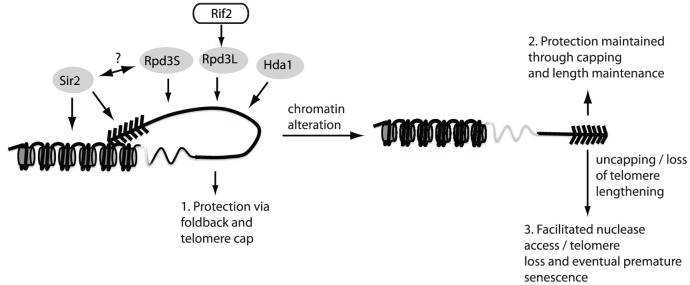 The fold-back may contribute to telomere protection. The maintenance of telomere structure requires the telomere-bound Rif2 protein to ensure that the Rpd3L complex gets properly loaded/maintained at chromosome ends. The presence of the Rpd3L KDAC (as well as Rpd3S, Sir2 and Hda1) promotes a protective structure at telomeres, which likely eminates in a fold-back of the telomeric DNA onto the subtelomeric region (1.). In the absence of this structure, telomeres remain protected due to a combination of telomerase-mediated elongation and capping via the CST complex (2.). When both capping and the fold-back structure are simultaneously compromised (3.) chromosome ends undergo accelerated nucleolytic degradation, and experience an accelerated rate of senescence in cells lacking a telomere maintenance mechanism due to the fact that rapidly resected uncapped telomeres do not get re-elongated.