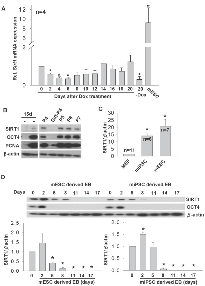 SIRT1 expression during iPSC formation and differentiation of ESCs and iPSCs in mouse model. (A) Temporal expression of Sirt1 mRNA on day 0 to day 20 after DOX treatment. MEF without DOX on day 20 (20-DOX) and <t>mESC</t> were included. (B) Western blotting analysis of SIRT1, OCT4 and PCNA in 2°F/1B MEF without (-DOX) and with (+DOX) DOX treatment for 15 days, serially passaged iPSC from passages 4 (P4), 5–7 (P5, P6, P7) and differentiated colonies at passage 4 (Diff-P4). (C) The relative expression levels of SIRT1 protein in MEF, <t>miPSC</t> and mESC. (D) Relative SIRT1 protein expressions in embryoid bodies collected from mESC and miPSC on days 2, 5, 8, 11, 14 and 17 after differentiation. D0 are the undifferentiated cell control. *p