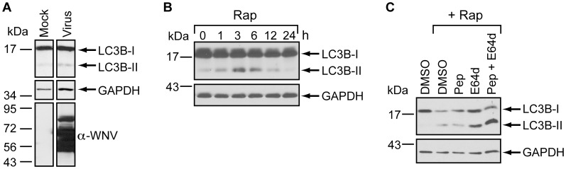LC3B-II accumulation in 293T cells. (A) Effect of WNV infection on LC3-II levels. Whole cell lysates were prepared from mock-infected or WNV-infected (MOI = 3) 293T cells at 24 hours post-infection. Immunoblot anyalysis was used to determine steady-state levels of LC3B (top), GAPDH (middle), and WNV (bottom). (B) Effect of rapamycin on LC3B. Whole cell lysates prepared at the indicated times (h) from 293T cells treated with 100 nM rapamycin (rap) were subjected to immunoblot analysis to determine the steady-state levels of LC3B (top) and GAPDH (bottom). (C) Effect of protease inhibitors on LC3B-II levels. Whole cell lysates were prepared from 293T monolayers treated with rapamycin (Rap) in the presence or absence of pepstatin A (Pep) and/or E64d at 24 hours post-treatment. Lysates were subjected to immunoblot analysis as described in Panel B.
