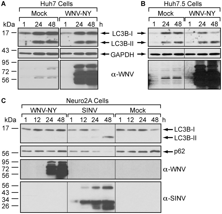 The autophagy pathway is not upregulated by WNV in established cell lines. (A and B) Effect of WNV infection on steady-state LC3B-II levels in Huh7 (A) or Huh7.5 (B) cells. Following mock or WNV-NY (MOI = 3) infection, cells were grown in medium containing 10 µg/mL Pepstatin A and E64d. Whole cell lysates prepared at the indicated times (h) post-infection were subjected to immunoblot analysis for expression of LC3B (top), GAPDH (middle), and WNV (bottom). (C) Effect of WNV and SINV infection of steady-state LC3B-II and p62 levels in Neuro2A cells. Neuro2A cells were mock-infected or infected with WNV (MOI = 3) or SINV (MOI = 5) in the absence of protease inhibitors. Whole cell lysates prepared at the indicated times (h) post-infection were subjected to immunoblot analysis for expression of LC3B (top panel), p62 (second panel), WNV (third panel), and SINV (bottom panel).