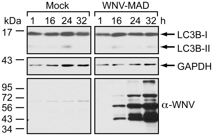 WNV-MAD78 infection does not induce autophagy. 293T monolayers were mock-infected or infected with WNV-MAD78 (MOI = 3). Following infection, cells were grown in medium containing 10 µg/mL Pepstatin A and E64d. Whole cell lysates prepared at the indicated times (h) post-infection were subjected to immunoblot analysis for LC3B (top), GAPDH (middle) and WNV (bottom).