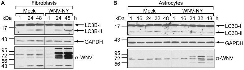 Primary human cell lines do not upregulate autophagy in response to WNV infection. (A-B) Effect of WNV infection on steady-state LC3B-II levels. Human foreskin fibroblasts (A) or human brain cortical astrocytes (B) were mock-infected or infected with WNV-NY (MOI = 3). Following infection, cells were grown in medium containing 10 µg/mL Pepstatin A and E64d. Whole cell lysates prepared at the indicated times (h) post-infection were subjected to immunoblot analysis for expression of LC3B (top), GAPDH (middle) and WNV (bottom).