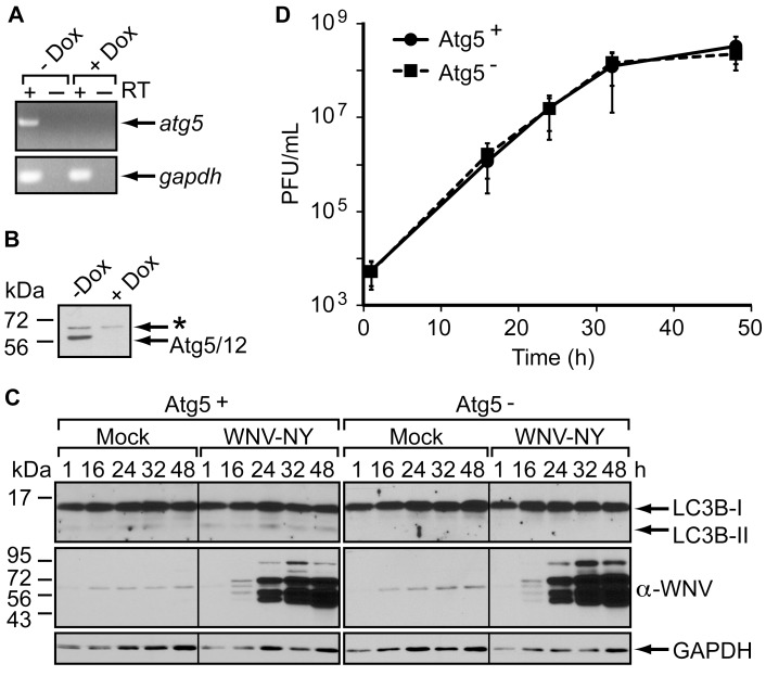 Atg5 is not required for WNV replication. (A) Atg5 mRNA in m5-7 cells. Standard RT-PCR (+ RT) was used to detect the presence of atg5 (top) or gapdh (bottom) mRNA in total RNA extracted from m5-7 cells grown in the presence or absence of 10 ng/mL doxycycline (Dox). PCR products were analyzed by agarose-gel electrophoresis. (B) Atg5 protein expression in m5-7 cells. Whole cell lysates prepared from m5-7 cells grown in the presence or absence of doxycycline were subjected to immunoblot analysis for Atg5 expression. A non-specific band (*) was also detected with this antiserum. (C) Immunoblot analysis of WNV-NY-infected m5-7 cells. m5-7 monolayers grown in the presence (Atg5 - ) or absence (Atg5 + ) of 10 ng/mL doxycycline were mock-infected or infected with WNV-NY (MOI = 3). After infection, inoculum was replaced with medium containing 10 µg/mL Peptastatin and E64d with or without 10 ng/mL doxycycline. Whole cell lysates were prepared at the indicated times (h) post-infection and subjected to immunoblot analysis for expression of LC3 (top), WNV (middle) and GAPDH (bottom). (D) WNV growth curves in the presence and absence of Atg5. Culture supernatants were recovered from the cells in Panel C at the indicated times (h) and the viral titers determined by plaque assay on Vero cells. Values represent the average (± standard error) number of plaque-forming units (pfu) per mL from four independent experiments.