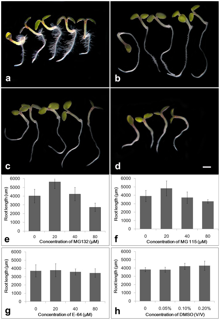 Effects of different inhibitors on primary root elongation. a–d. Cold-pretreated seeds were cultured in 1/2 MS with 1% Suc for 24 h, and then uniform seedlings of similar size and primary root length were transferred to the same fresh medium containing 0 (a), 20 µM MG132 (b), 40 µM MG132 (c) or 80 µM MG132 (d), respectively, for additional 48 h. Bars = 1000 µm. e–h. Cold-pretreated seeds were cultured in 1/2 MS with 1% Suc for 24 h, and then uniform seedlings of similar size and primary root length were transferred to the same fresh medium containing various concentrations of MG 132 (e), MG115 (f), E-64 (g) and DMSO (h), for additional 48 days. The values are the means ± SD of about 15 seedlings of each treatment. The experiment was repeated thrice with consistent results.