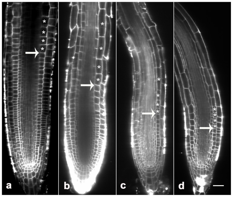 Effects of MG132 on root-meristem size. Roots treated with 0 (a), 20 µM MG132 (b), 40 µM MG132 (c) or 80 µM MG132 (d) were stained with FM 4–64, and longitudinal views were obtained using a Zeiss confocal. The results show reduced root-meristem size (indicated by arrows) and accelerated cell differentiation (indicated by stars) in response to MG132 treatment. Bars = 20 µm.