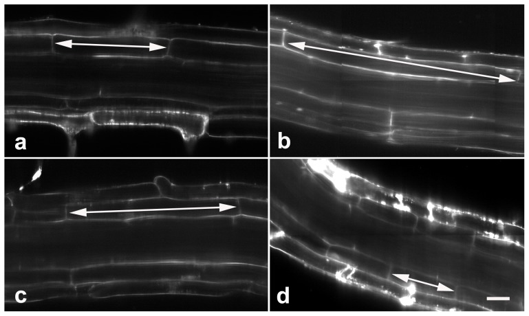 MG132 alters cell length in the maturation zone. Roots treated with 0 (a), 20 µM MG132 (b), 40 µM MG132 (c) or 80 µM MG132 (d) were stained with FM 4–64, and longitudinal views were obtained using a Zeiss confocal. The results show that MG132 alters cell length in the maturation zone (indicated by arrows). Bars = 20 µm.
