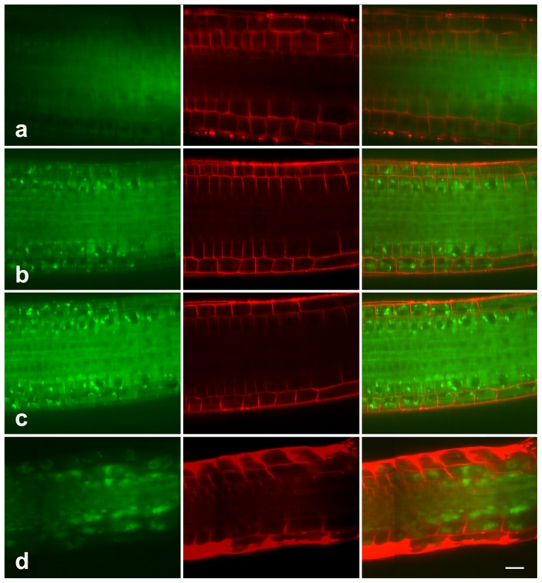 LysoTracker staining in root cells. Seedlings treated with 0 (a), 20 µM (b), 40 µM (c), or 80 µM (d) MG132 were stained with LysoTracker (Green) and FM 4–64 (Red), and examined with a Zeiss confocal. The data show the accumulation of LysoTracker in root cells in response to MG132 treatment. Bar = 50 µm.