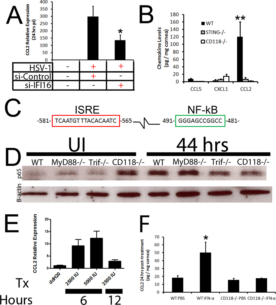 IFI-16 drives CCL2 production by way of type I IFN ( A ) THCE cells were transfected with control or siRNA specific to IFI-16 and infected with HSV-1. Twenty-four hours pi, mRNA transcript expression was evaluated for CCL2 and normalized to uninfected controls and the housekeeping gene β-actin. Results are expressed as the mean ± SEM. ( B ) STING −/− , CD118 −/− , and WT mice (n = 4–8) were infected with 1,000 PFU / eye. Forty-eight hours pi chemokine content was evaluated by suspension array and is presented as the mean pg / mg ± SEM. ( C ) Evaluation of the upstream promoter of CCL2 identified IFN (red) and NF-κB (green) responsive elements. ( D ) WT, MyD88 −/− , Trif −/− , and CD118 −/− mice were infected and NF-κB nuclear translocation was assessed 44 hours pi by Western blot and compared to uninfected (UI) controls. Image is representative of 2 independent experiments. ( E ) THCE cells (n = 9) were treated with rIFN-α and CCL2 mRNA transcript assessed at 6 or 12 hours post-treatment. Results were normalized to ddH 2 0 controls and the housekeeping gene β-actin. Tx, treatment; IU, units; Values are expressed as the mean ± SEM of 2–3 independent experiments. ( F ) To confirm IFN was responsible for driving CCL2, WT and CD118−/− mice were treated with PBS or 30,0000 U rIFN-α. Twenty-four hrs later, chemokine levels were assessed and are presented as the mean ± SEM of 3 independent experiments of 2–3 corneas / group. **, p