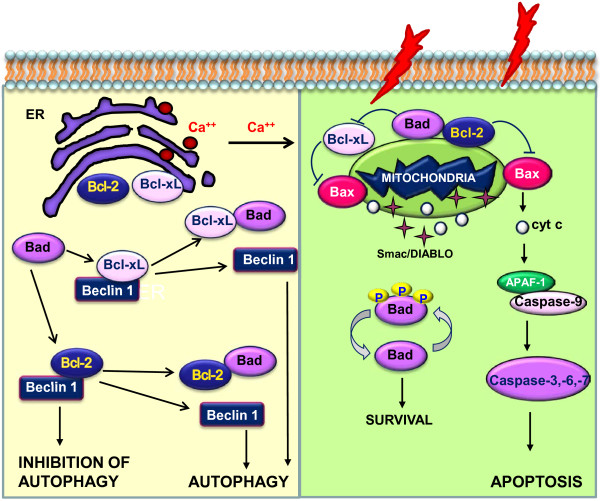 Schematic representation of the interplay between pro- and anti-apoptotic Bcl-2 family members and Beclin 1, in the endoplasmic reticulum and mitochondria.