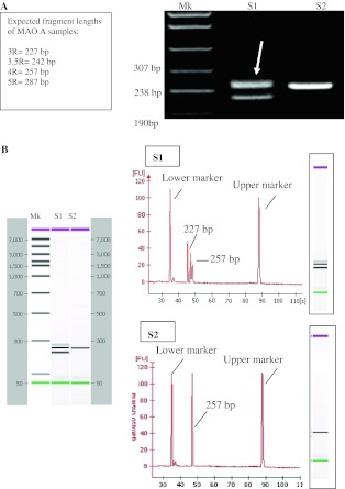 Comparison between classic agarose gel electrophoresis and chip technology for resolution and accuracy. The same samples were analyzed by electrophoresis onto 3% agarose gel ( a ) and Bioanalyzer 2100 ( b ). The molecular weight of the upper band in the S1 line of the agarose gel is not unambiguously assignable. b Gel-like image and electropherograms of samples S1 and S2 obtained by Bioanalyzer 2100 analysis. The exact length of the longer fragment is easily determined ( Mk molecular weight marker)