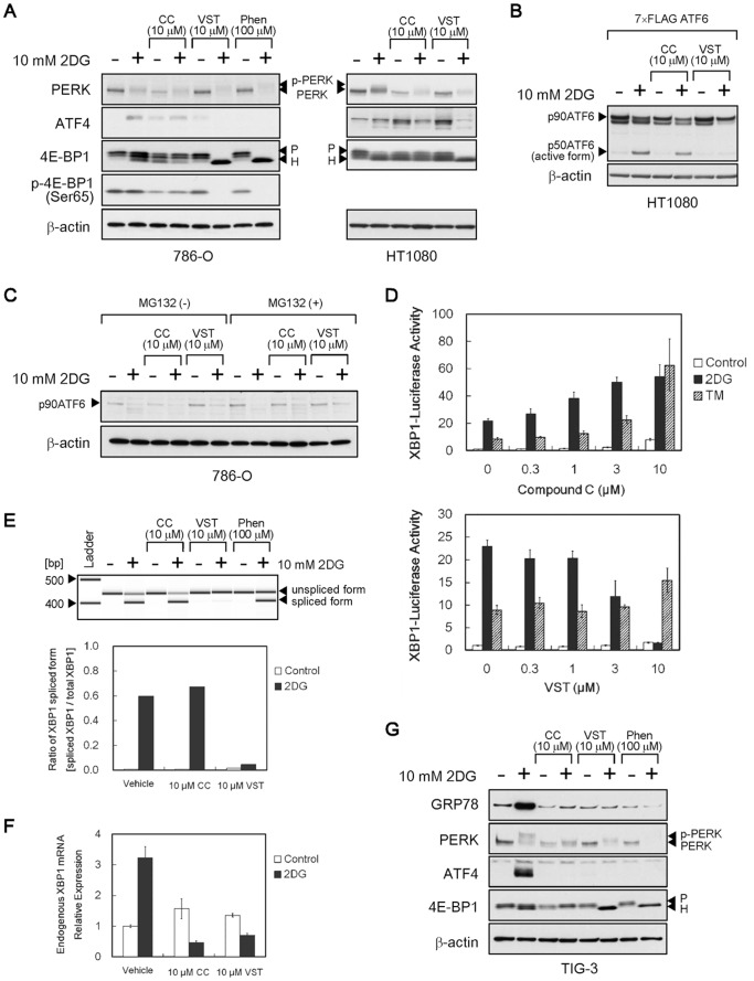Effects of compound C on the UPR signaling pathway. ( A – C ) Immunoblot analysis of UPR-related proteins. In A, HT1080 ( right ) and 786-O cells ( left ) were treated for 18 h with compound C, versipelostatin or phenformin in the presence (+) or absence (−) of 10 mM 2DG. In B, HT1080 cells were transfected with 100 ng of 7× FLAG-tagged ATF6 plasmid (expressed FLAG-tagged full-length p90ATF6) and treated for 6 h with compound C or versipelostatin in the presence (+) or absence (−) of 10 mM 2DG. For better detection of the p50ATF6/active form, MG132 was included during exposure of cells to 2DG. In C, 786-O cells were treated for 6 h with compound C and versipelostatin in the presence (+) or absence (−) of 10 mM 2DG and MG132. β-actin was used as a loading control. (D) XBP1 reporter assay. XBP1-Luc/HT1080 cells were transfected with phRL-CMV and exposed to stress (10 mM 2DG or 5 µg/mL of tunicamycin) for 18 h with compound C and versipelostatin. Results shown are the means ± SD of quadruplicate determinations. (E, F) Quantitative PCR (E) and real-time PCR (F) analysis of XBP1 transcript. HT1080 cells were treated with compound C and versipelostatin for 18 h under normal or 2DG stress conditions. In E , PCR products were analyzed by Agilent 2100 Bioanalyzer (gel-like image, upper ). Relative ratios of XBP1 mRNA splicing valiant were calculated by setting each total expression amount of XBP1 mRNA in cells as 1 (graph, lower ). Two independent experiments were performed to confirm the reproducibility. In F, relative expression levels of endogenous XBP1 mRNA were calculated by setting each normal expression level from non–drug-treated cells as 1. Results shown are the means ± SD. (G) Immunoblot analysis of UPR-related proteins. TIG-3 cells were treated for 18 h with compound C, versipelostatin or phenformin in the presence (+) or absence (−) of 10 mM 2DG. β-actin was used as a loading control. 2DG, 2-deoxy-D-glucose; TM, tunicamycin; CC, compound C; VST, versipelostatin; 