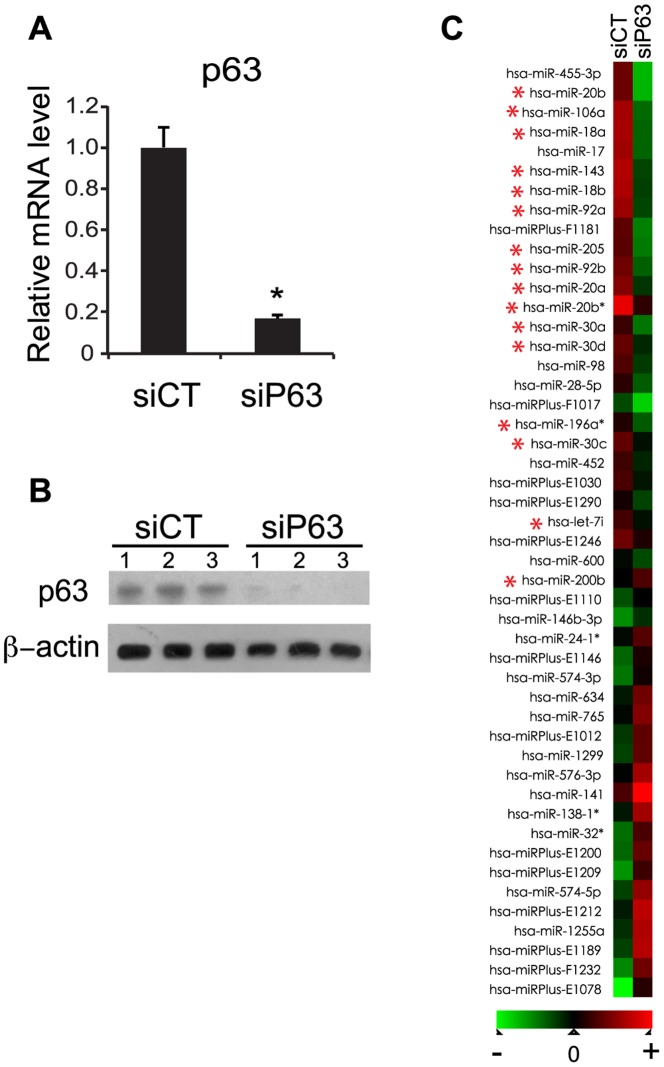 miRNA profiling of p63-depleted HaCaT cells. siRNA-mediated knockdown of p63 was assessed at the mRNA level ( A ) and protein level ( B ) 48 hours <t>post-transfection.</t> The total miRNA extracted (three independent siP63 transfection and three independent miRNA extraction) was processed for miRNA profiling. Error bars represent the s.d. of triplicate experiments. *, p