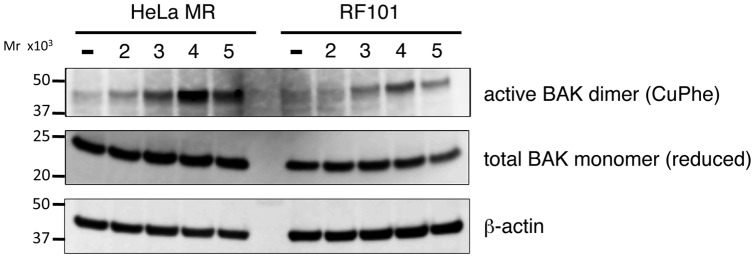 The effect of MAPO2 knockdown on the activation of BAK proteins. Soluble protein fractions were extracted from HeLa MR and RF101 cells harvested 2, 3, 4 and 5 days after MNU treatment. The extracts were treated with disulphide bonding inducer to form intermolecularly linked active BAK dimers. The samples were boiled with (reduced) or without (CuPhe) 2-mercaptoethanol and subjected onto SDS-PAGE followed by immunoblotting analysis to detect the total amounts of BAK monomers and active BAK dimers, respectively, using anti-BAK monoclonal antibody ab-1. β-Actin was used as a loading control. The molecular weights are shown on the left.