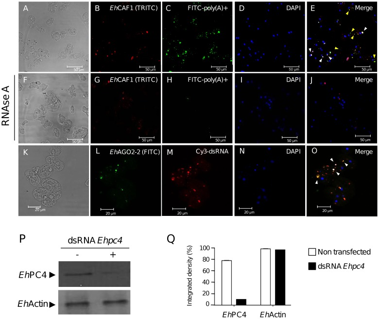 Colocalization of poly(A) + RNA and dsRNA substrates with Eh CAF1 and Eh AGO2-2 in cytoplasmic foci. (A–E) Poly(A) + RNA and Eh CAF1 colocalization assays. Trophozoites were immunostained with Eh CAF1 (B) antibodies. Poly(A) + RNAs were detected by hybridization with FITC-conjugated oligo-(dT) 30 (C). The cells were counterstained with DAPI (D) and analyzed with immunofluorescence confocal microscopy. The merged image (E) shows the overlapping signals. White arrowheads indicate the accumulation of poly(A) + RNA and Eh CAF1 signals. Yellow arrowheads indicate FITC-poly(A) + signal that does not overlap with Eh CAF1-containing foci. (F-J) RNAse A treatment, performed as a control experiment. Immunodetection of Eh CAF1 (G), detection of poly(A) + (H) and DNA counterstaining with DAPI (I). Merged image (J). (K–O) Eh AGO2-2 and Cy3-dsRNA colocalization assays. Trophozoites were transfected with Cy3-dsRNA targeting Ehpc4 (K–O) and then immunostained with Eh AGO2-2 antibodies on day seven after transfection (L). Cells were counterstained with DAPI (N) and analyzed with immunofluorescence confocal microscopy. The merged image (O) shows both signals. Arrowheads mark colocalized signals in cytoplasmic foci. (P) Western blot analysis for Eh PC4 and Eh Actin from proteins extracts obtained on day seven after Cy3-dsRNA transfection. (Q) A densitometric analysis of the bands in P.