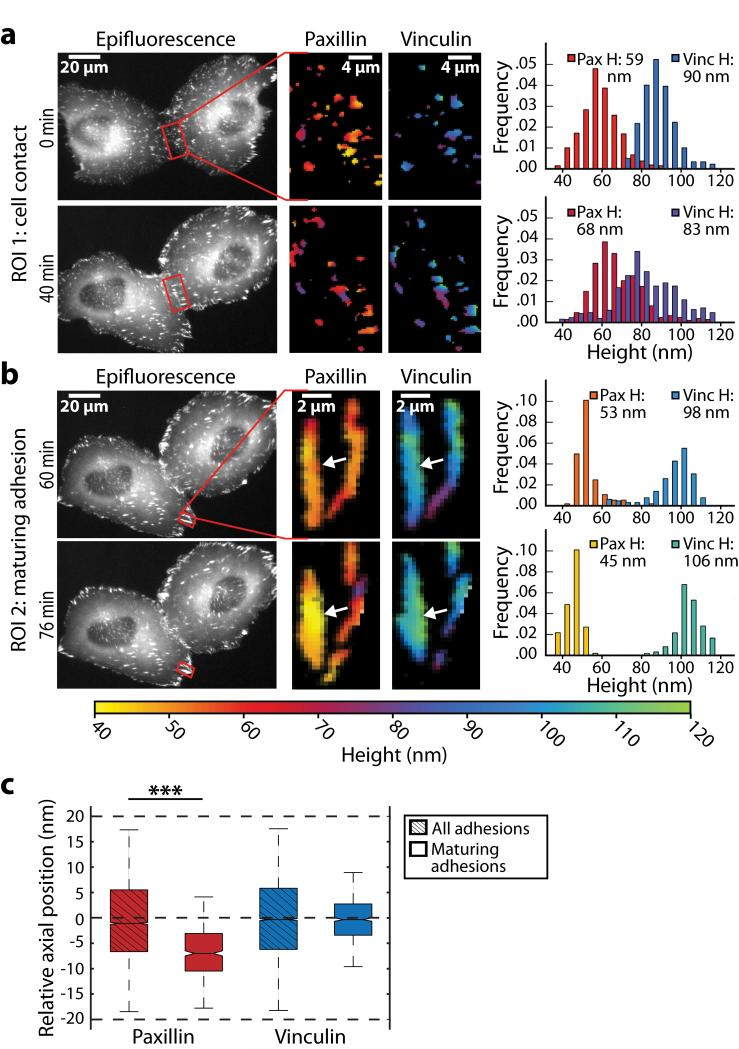 Nano-scale dynamics of adhesion proteins in migrating cells (a, b) Live-cell time-lapse multicolor scanning angle interference imaging of epithelial cells expressing paxillin-mEmerald and <t>mCherry-vinculin</t> following cell-cell contact ( a ) or in an assembling adhesion during cell retraction ( b ). The left panels show paxillin epifluorescence images at the indicated time point, the region of interest (ROI) is boxed in red. The middle and right panels show heights of paxillin and vinculin in the ROI. The plots show distributions of paxillin and vinculin heights in ROI, mean height ( H ) above the oxide surface is calculated over 35 to 120nm. In ( a ) the histogram shows the measured heights of paxillin and vinculin at each pixel corresponding to site of adhesion. In ( b ) the histogram displays the heights of the molecules at the subset of ROI pixels within the boundary of the left adhesion (indicated by white arrow). ( c ) The plot shows the relative heights of paxillin and vinculin in maturing adhesions during cell retraction. Axial position is reported relative to the average height of molecules in all adhesions in the cell ( P